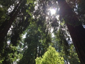 "Coaching Haydn's ""Emperor"" quartet outside under the magnificent Redwoods"