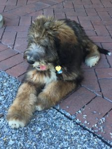and Sylvie! Our dearest Avaloch mascot...a 4-month-old Berna-Doodle =)