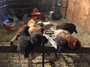 Chicken coup @ Green Mountain Girls' Farm...post-concert party with the hens!
